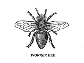 Worker-Honey-Bee