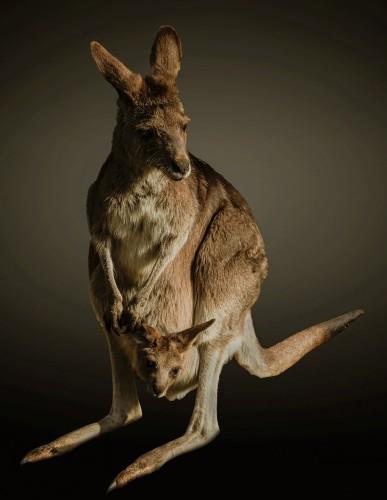 kangaroo-663272_1280