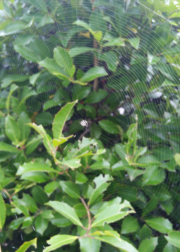 Spiny-backed Orb Weaver on Web